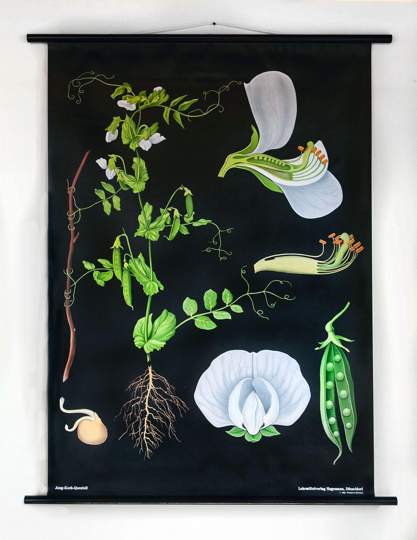 Hagemann Botanical Charts Beautiful Reproductions Of