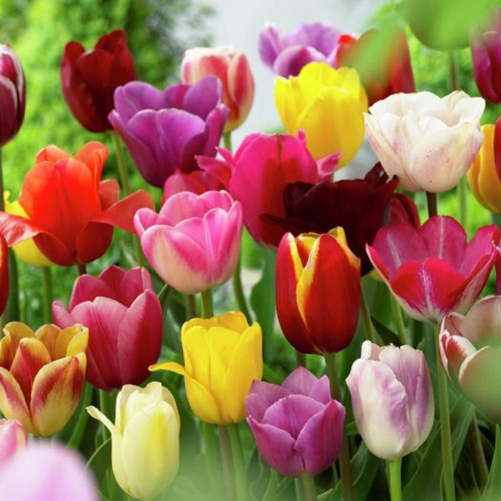 Van Zyverden Mixed Tulips Non Stop Mixed Colors Blend Bulbs 25 Pack 87017 Planting Bulbs Planting Tulips Color Mixing