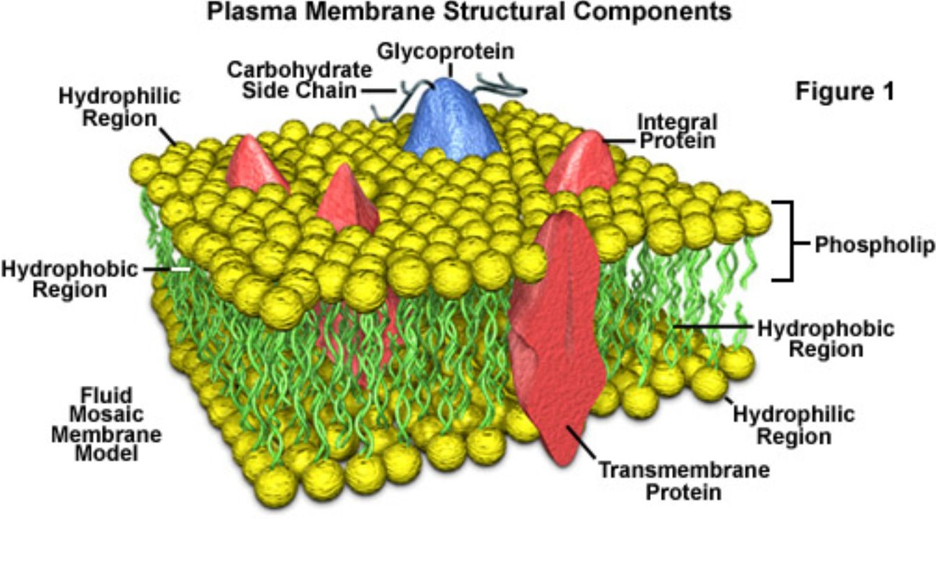 Cell membraneA phospholipid layer that covers a cells