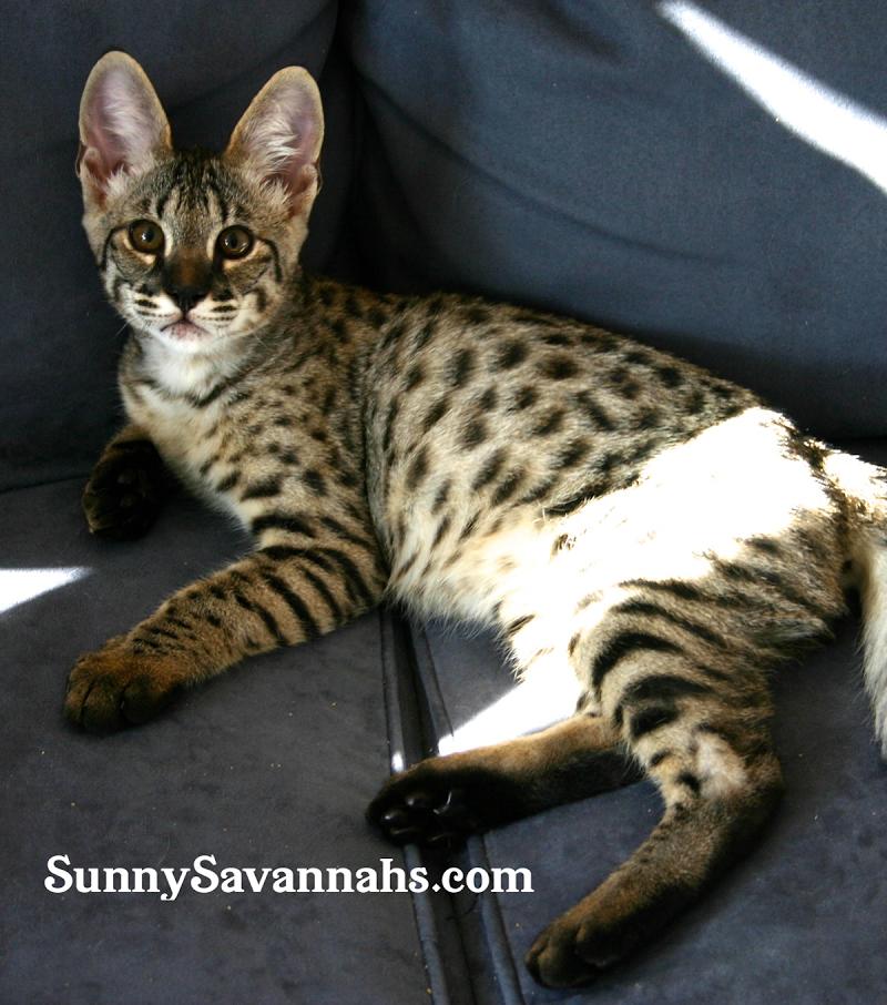 Savannah Cat Breeder In Cincinnati Ohio Specializing In High