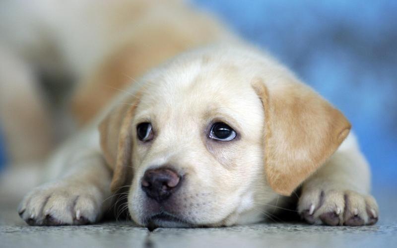 Labrador Tags Labrador Puppies Dogs Puppies Cute Animals Labrador Animals Cute Labrador Puppies Puppies Labrador Retriever Puppies