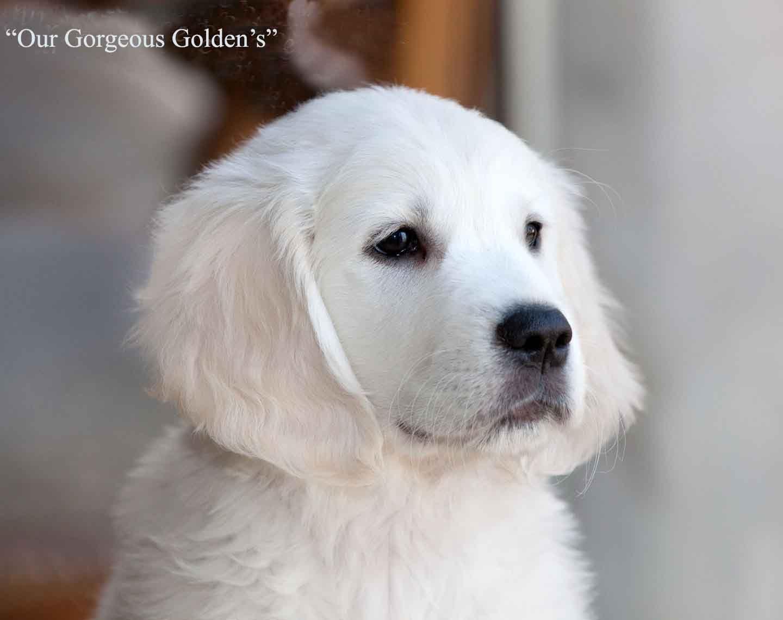 White Golden Retriever Puppiescreamakc Certifiednj Breedersmdct