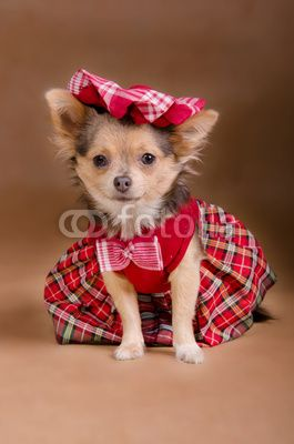 Chihuahua Puppy Wearing Scotland Chequered Kilt And Beret By