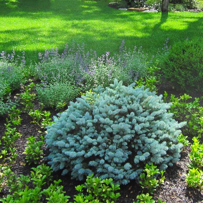 Dwarf globe blue spruce and boxwood gardening for Low maintenance landscaping plants and shrubs
