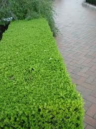 Buxus Microphylla Box Hedge Landscaping Plants Hedges Garden
