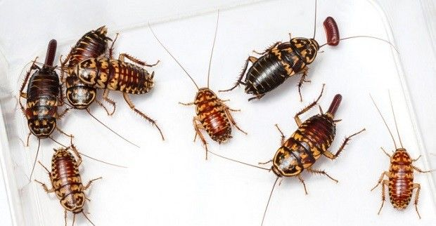 3 natural ways to get rid of cockroaches in your home. Black Bedroom Furniture Sets. Home Design Ideas