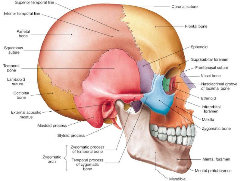 Axial Skeleton (Skull) | Dental | Pinterest | Axial skeleton ...