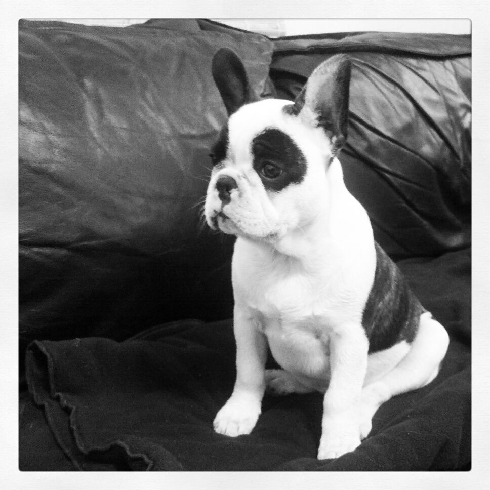 Sherman The Frenchton Cute Animals Cute Dogs Dog Breeds