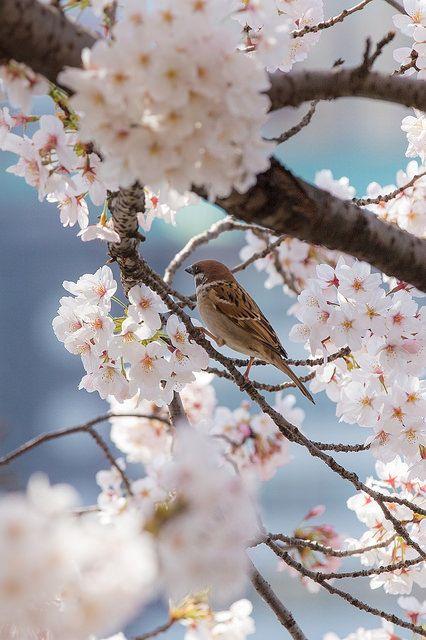 Sparrow & Cherry blossom by Shingan...