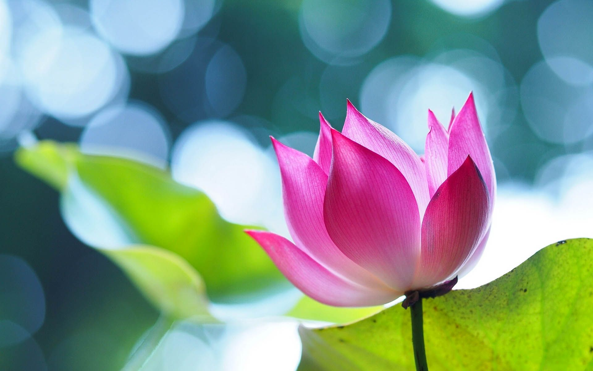 Lotus Flower Beautiful High Quality Hd Wallpapers Hd Wallpapers
