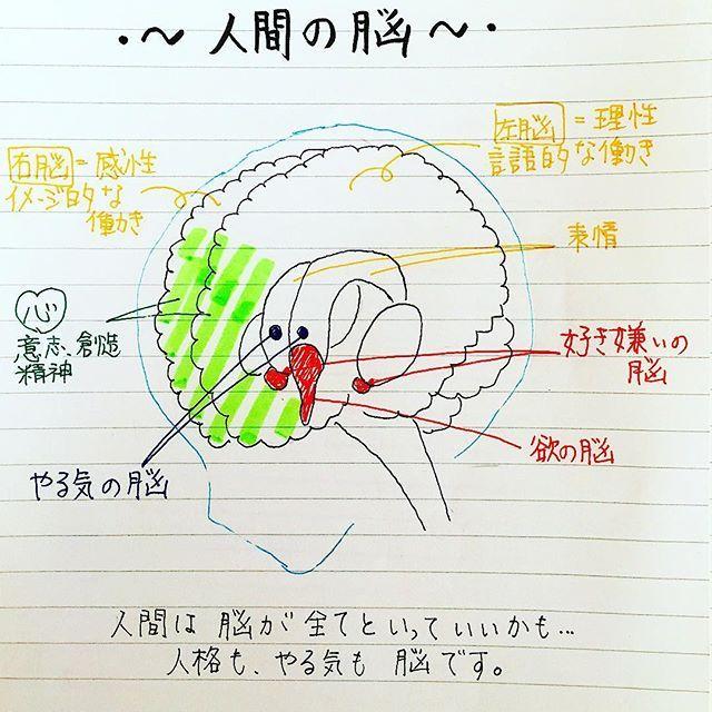 脳を上手に動かして やる気を出させたりしたいな 脳内物質のお話に入る前に 予備知識として 手書き 手書きpost 手書き部 手書きツイート 手書きツイートしている人と繋がりたい やる気スイッチ やる気 脳 人間 解剖 メンタル 何もしたくない