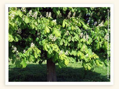White chestnut bach flower remedy for incessant intrusive and white chestnut bach flower remedy for incessant intrusive and troubling thoughts creature comforters mightylinksfo Image collections