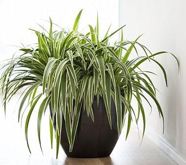 chorophytum comocum - ideal low maintenance plant for bathroom - we ...