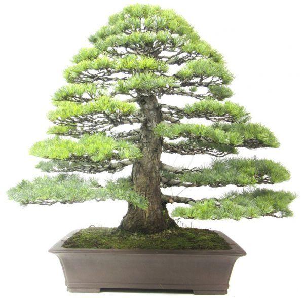 Bonsai.de SHOP 33cdf8ede223