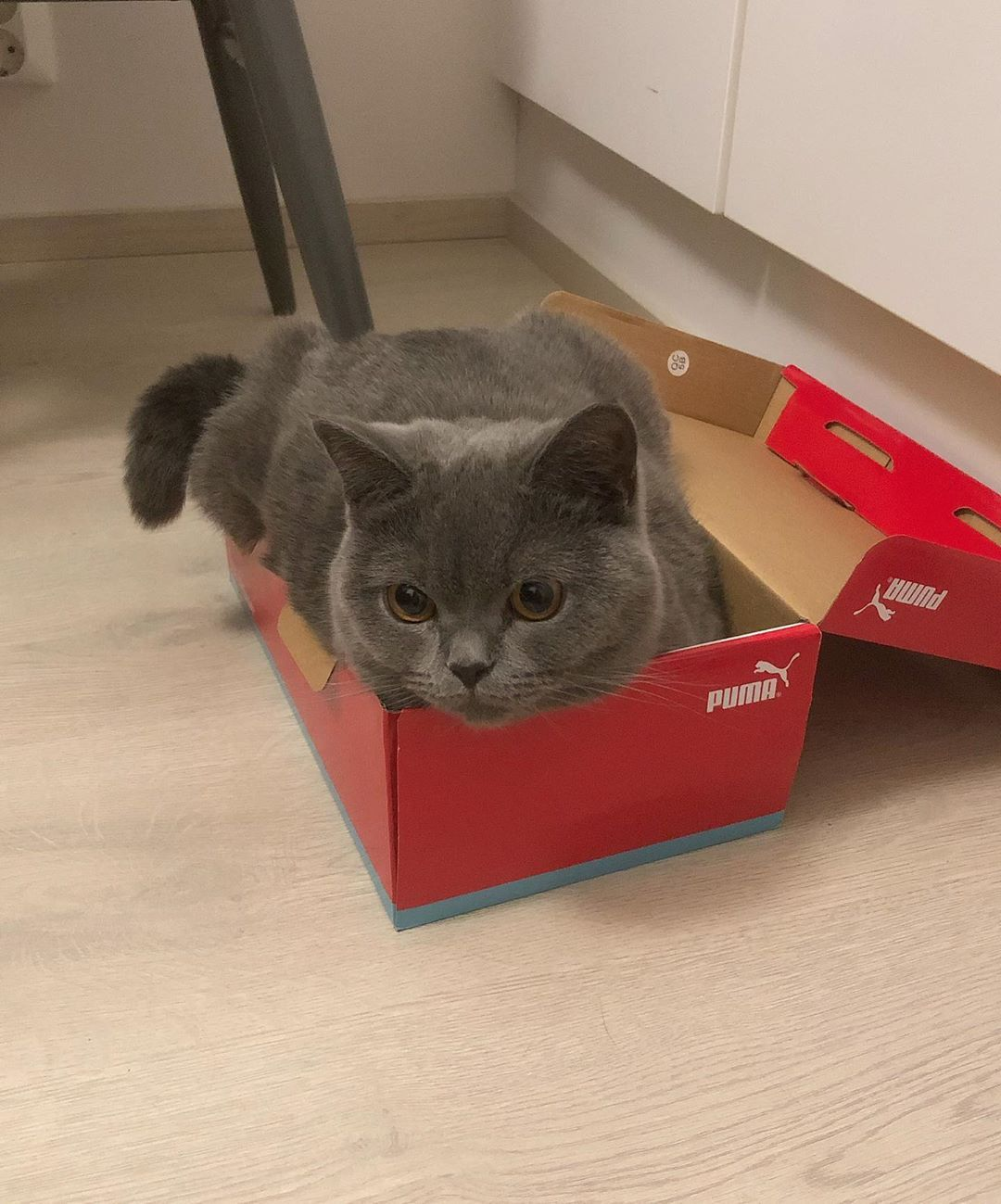 Nala Thinks That The Box Is Made For Her We Think The Box Is Too Small For Nala British Shorthair Kittens Cute Cats British Shorthair