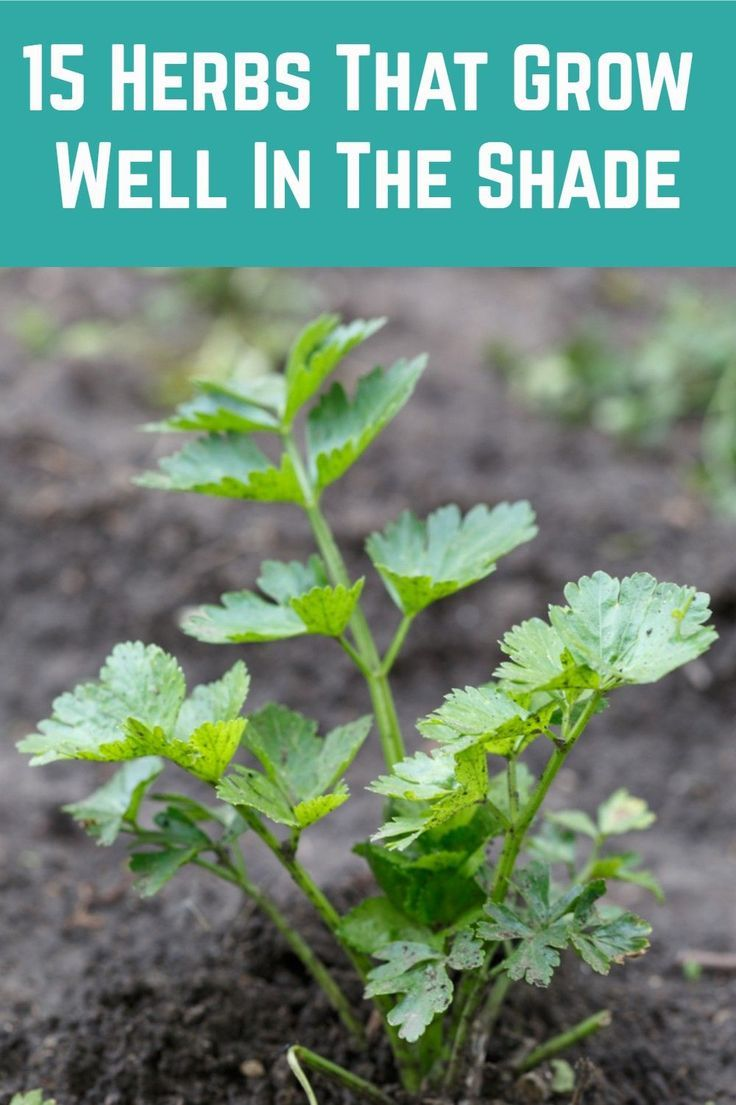 15 Herbs That Grow Well In The Shade