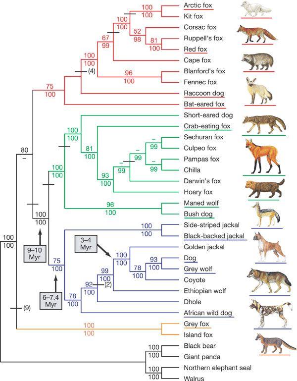 Dog And His Ancestors Evolution Pinterest Dogs Australian