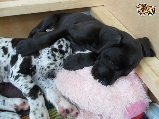 Great Dane Puppy For Sale Great Dane Puppy Great Dane Dogs