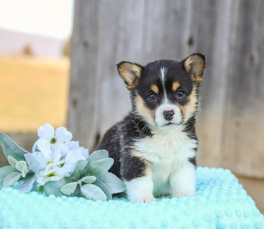 Puppies For Sale In 2020 Welsh Corgi Puppies Lancaster Puppies Cute Animals