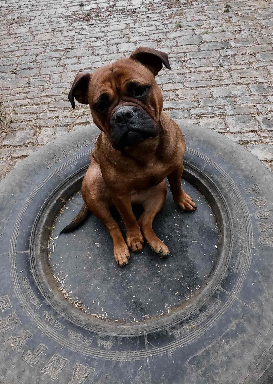 Conti Bulldog Ap Mora In 2020 Continental Bulldog Hunde Welpen
