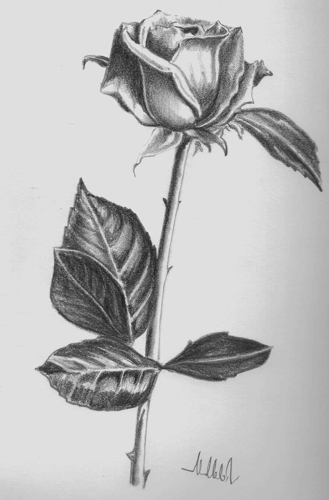 Nice Drawings Of Roses Flower sketch pencil