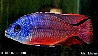 Protomelas Taeniolatus Super Red Empress African Cichlids Cichlids Tropical Fish