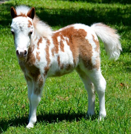 Dent Lucky Cherry Delight - Miniature filly