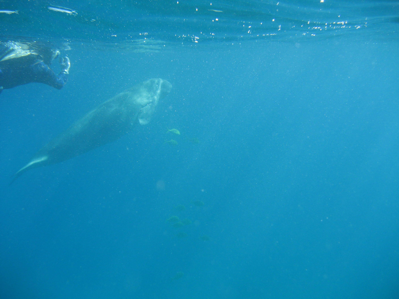 De zeekoe gespot!