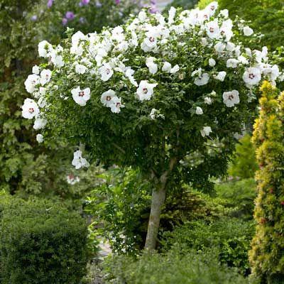 White rose of sharon tree 6 8ft full grown hibiscus for Dwarf flowering trees