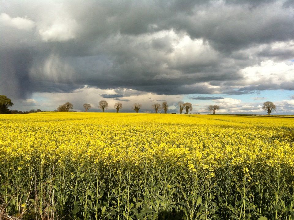 Newcastle, Co, Wicklow. The wonders of Rapeseed.