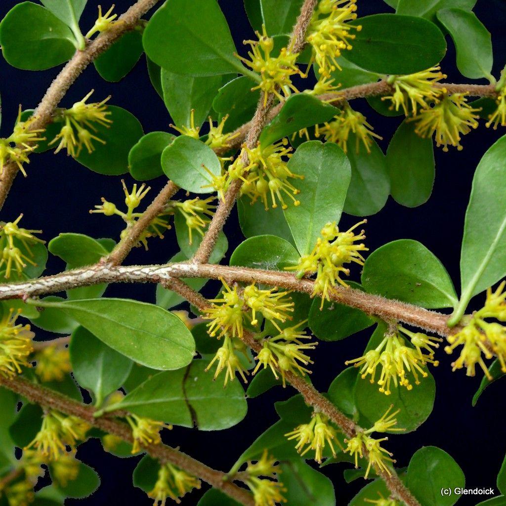 Azara Microphylla Plants Online Grown In Uk