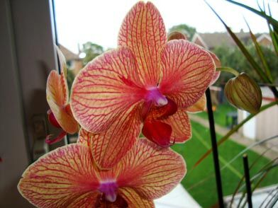 Moth Orchid Phalaenopsis In A Window Orchids Moth