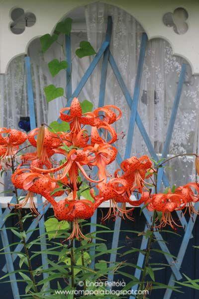 orange lilies in front of my gazebo