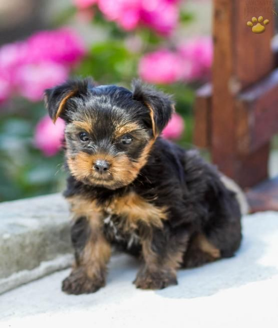 Chipper Yorkshire Terrier Puppy For Sale In Rebersburg Pa Animales