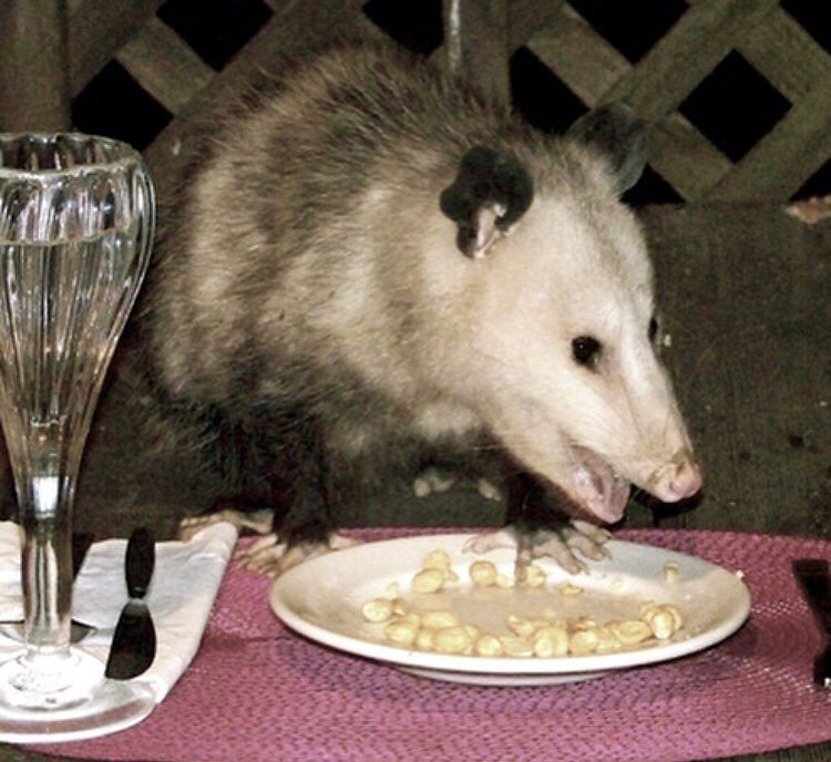 Pin By ARTHUR On Oh? Possums