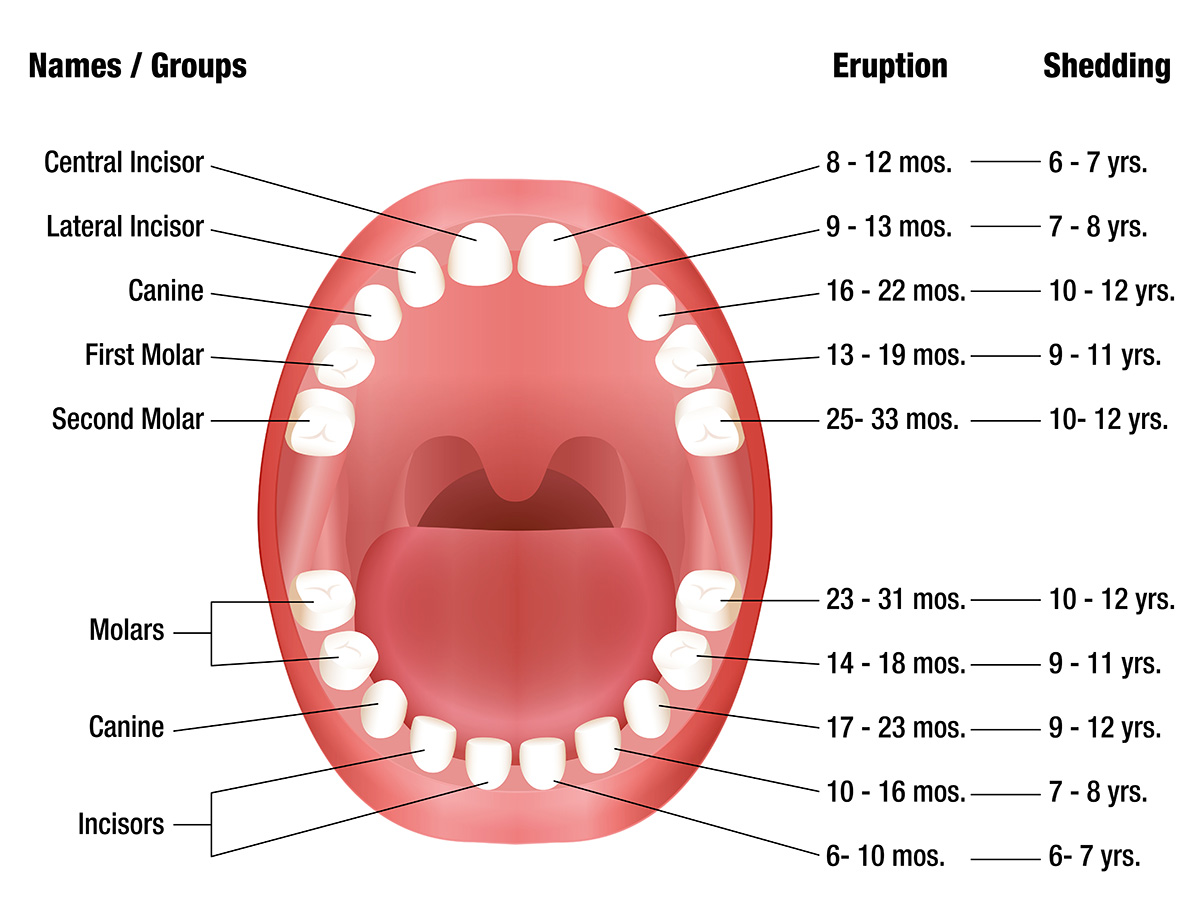 Primary Teeth Eruption Chart Dental Education Teeth Teeth