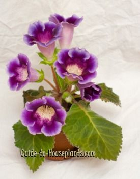 Growing Florist Gloxinia Plants Indoors / Guide To Houseplants. Flowering  ...