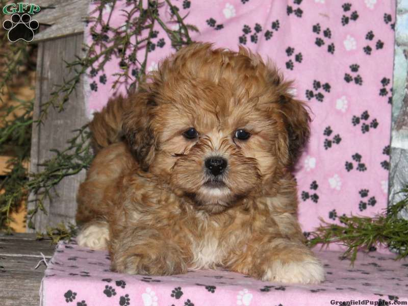 Jack Shichon Puppy For Sale In Rising Sun Md Puppies Shichon Puppies Greenfield Puppies