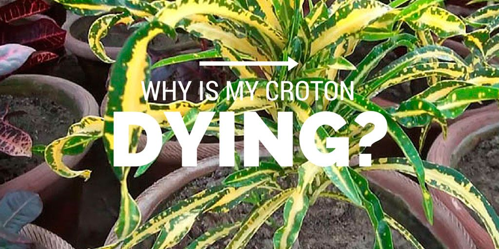 Why is my Croton Dying? Crotons plants, Plants, House plants