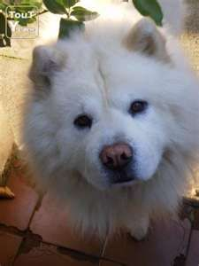 This Was My Joedogs A Beautiful Blonde Chow Chow With A Loving