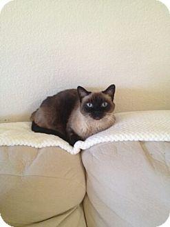 Las Vegas Nv Siamese Meet Princess A Cat For Adoption Cat