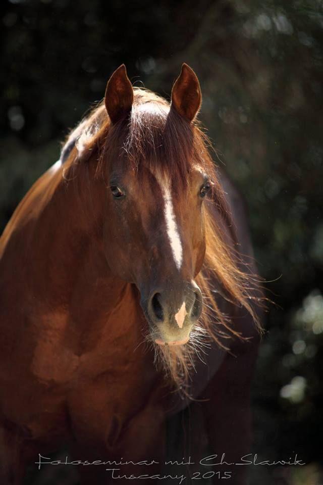 "horsesarecreatures: ""  Corkeys Footwork, Quarter Horse stallion owned by Castellare di Tonda. """