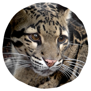 Home Page San Diego Zoo Clouded leopard, Animals, San