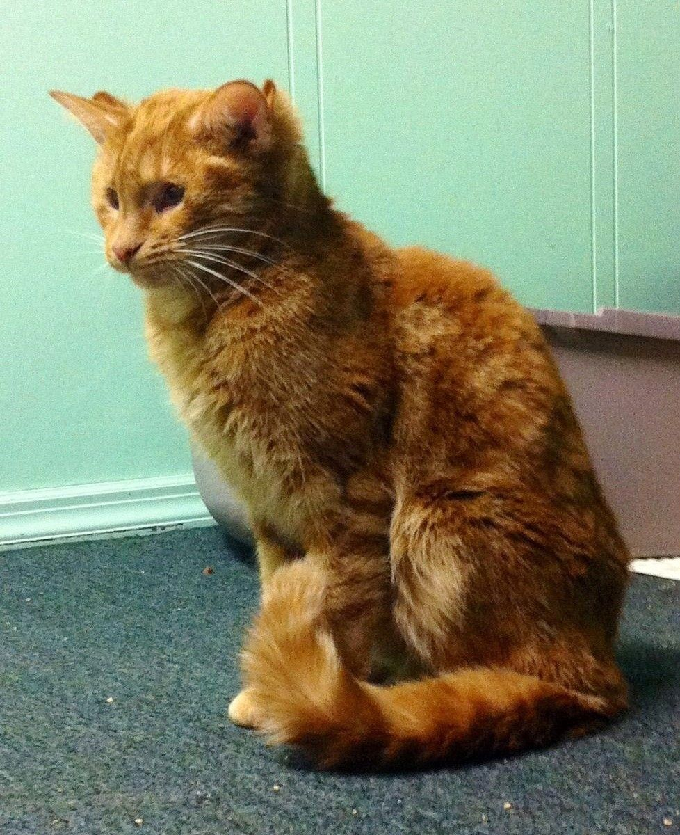 This Special Blind Cat Has 4 Ears And Ability To Touch Hearts Love Meow Cats Cats And Kittens Orange Cats