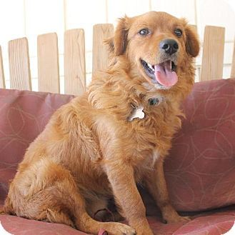 Corona, CA - Golden Retriever/Spaniel (Unknown Type) Mix. Meet Healey, a dog for adoption. http://www.adoptapet.com/pet/11018434-corona-california-golden-retriever-mix