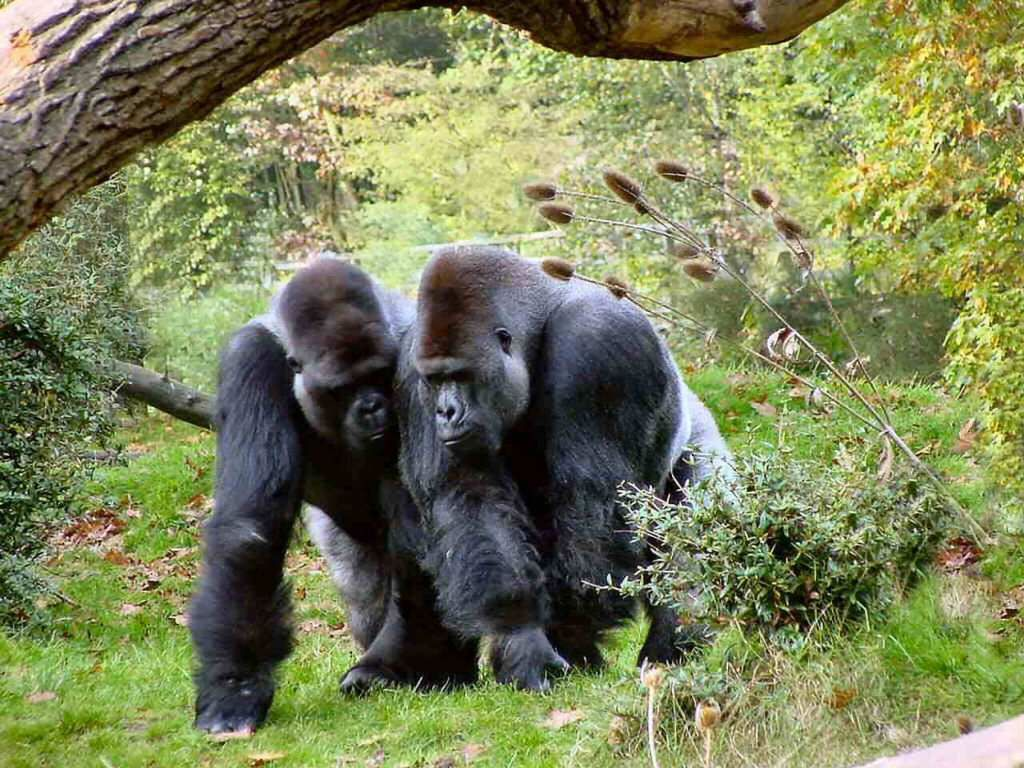 Gorillas | Find The Biggest Animals Kingdom and in The World