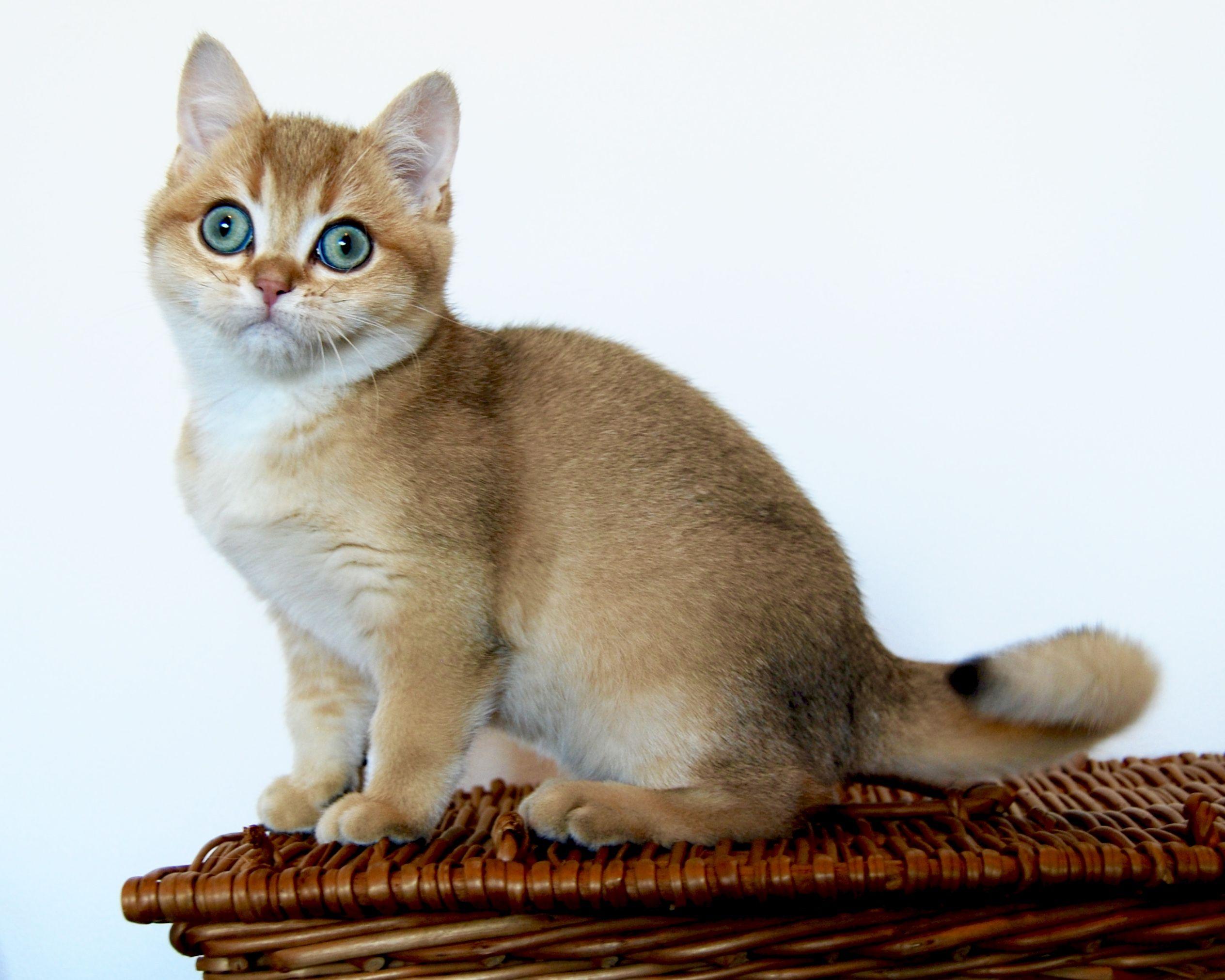 Golden Shaded Ny11 In 2020 Cats British Shorthair Cats British Shorthair Kittens