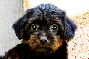Yorkie Poo Puppies for Sale Online Yorkie poo puppies