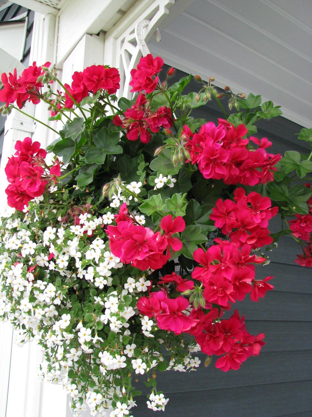 Beautiful Flower Hanging Baskets My Canadian Garden Pinterest