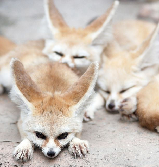 Fennec Fox: You are known as always being part of a group, and are quite friendly towards everyone.